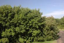 plant habit, summer (Dyck Arboretum of the Plains)
