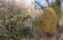 plant habit and leaf, fall