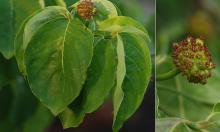 leaves and fruit cluster, summer