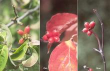 fruit clusters