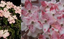 senescing flowers