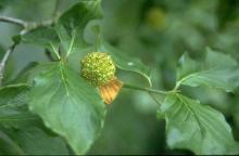 fruit, at petal fall