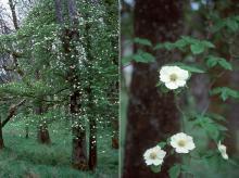 plant habit, flowering in woods