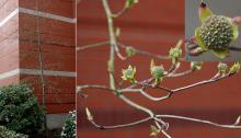 plant habit, spring, opening flower buds