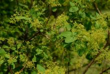 young flower clusters and leaves