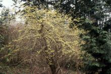 plant habit, flowering large shrub
