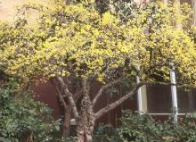 plant habit (tree), flowering