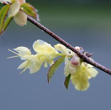 flower and emerging leaf