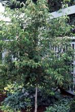 plant habit, tree form, fruiting
