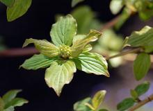 expanding leaves, young flower cluster