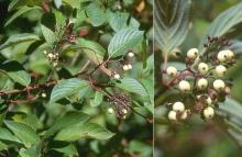 leaves and fruit, late summer