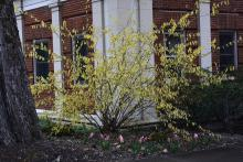 plant habit, early spring flowering