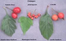 fruit and leaves, comparison