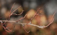 twigs, winter
