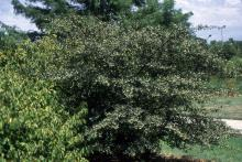 plant habit, fruiting shrub form