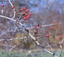 fruit, late fall