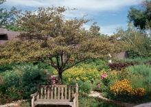 plant habit, fruiting tree