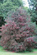 plant habit, summer flowering