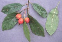 leaves and ripe fruit