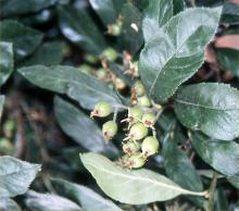 leaves and immature fruit