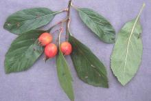 leaves and fruit