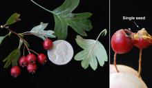 fruit, leaves and seed