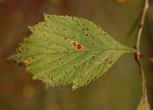 leaf, early fall