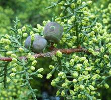 mature seed cones and developing male cone (August)