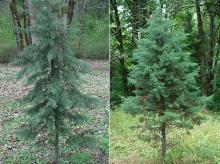 plant habit, small trees