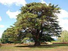 plant habit of a large tree