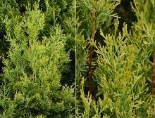 foliage, branchlets