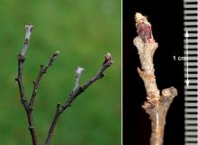 winter twig and buds