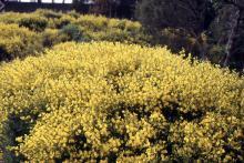 mass flowering in a landscape