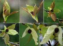 bract and leaf development