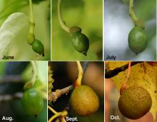 developing fruit (II)