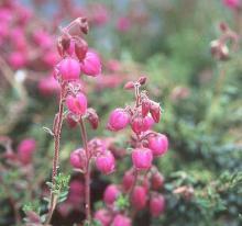 Example: 'Willian Buchanan', flowering shoots
