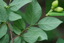leaves (underside) and developing fruit
