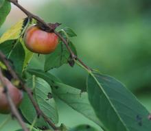 ripe fruit, fall