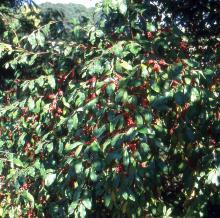 plant habit, fruiting
