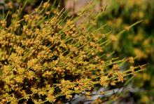 flowering stems