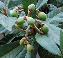 immature fruit cluster