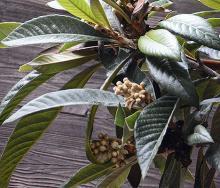 flower bud clusters