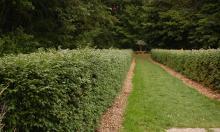plant habit, summer, hedge