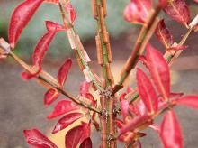 "stem, bark ridge or ""wing"""
