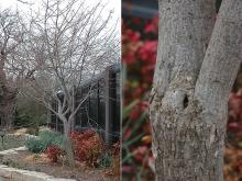winter plant habit and trunk, bark