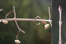 winter twigs, buds and remnant fruit