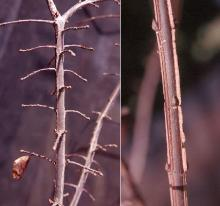 stems and buds, winter