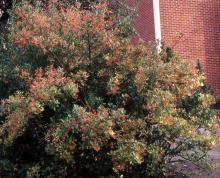 plant habit, winter fruiting