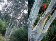 plant habit and trunks, bark