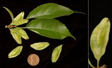 leaves and fruit (seeds)